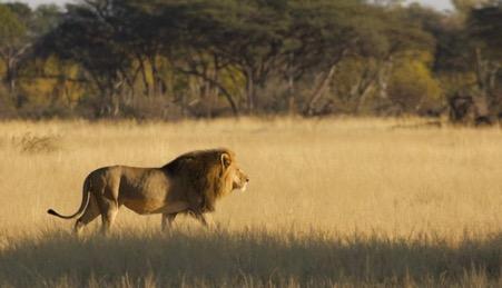 hwange lion death
