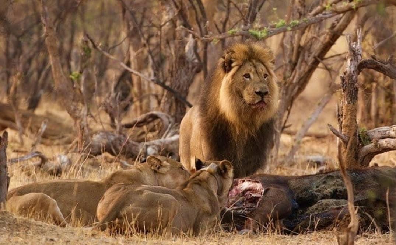 Mopane Hwange lion