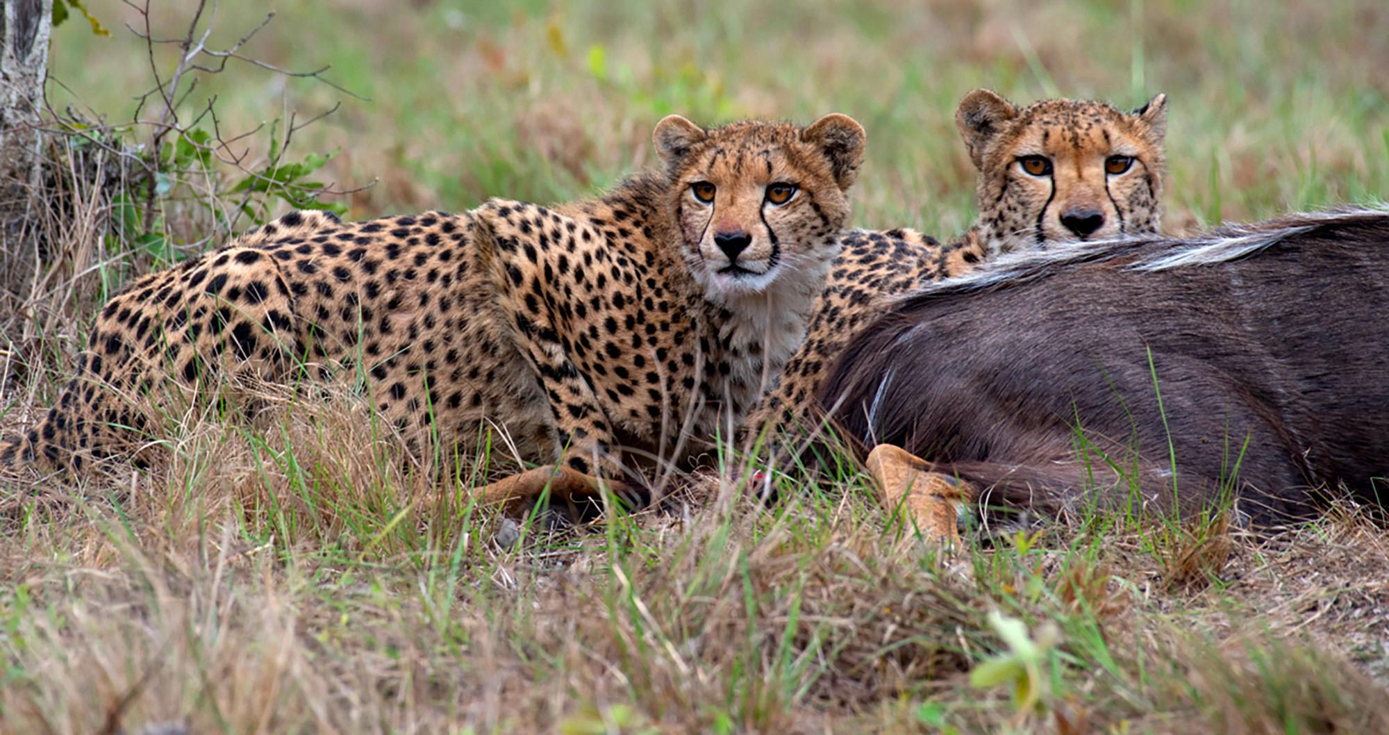 cheetahs feed