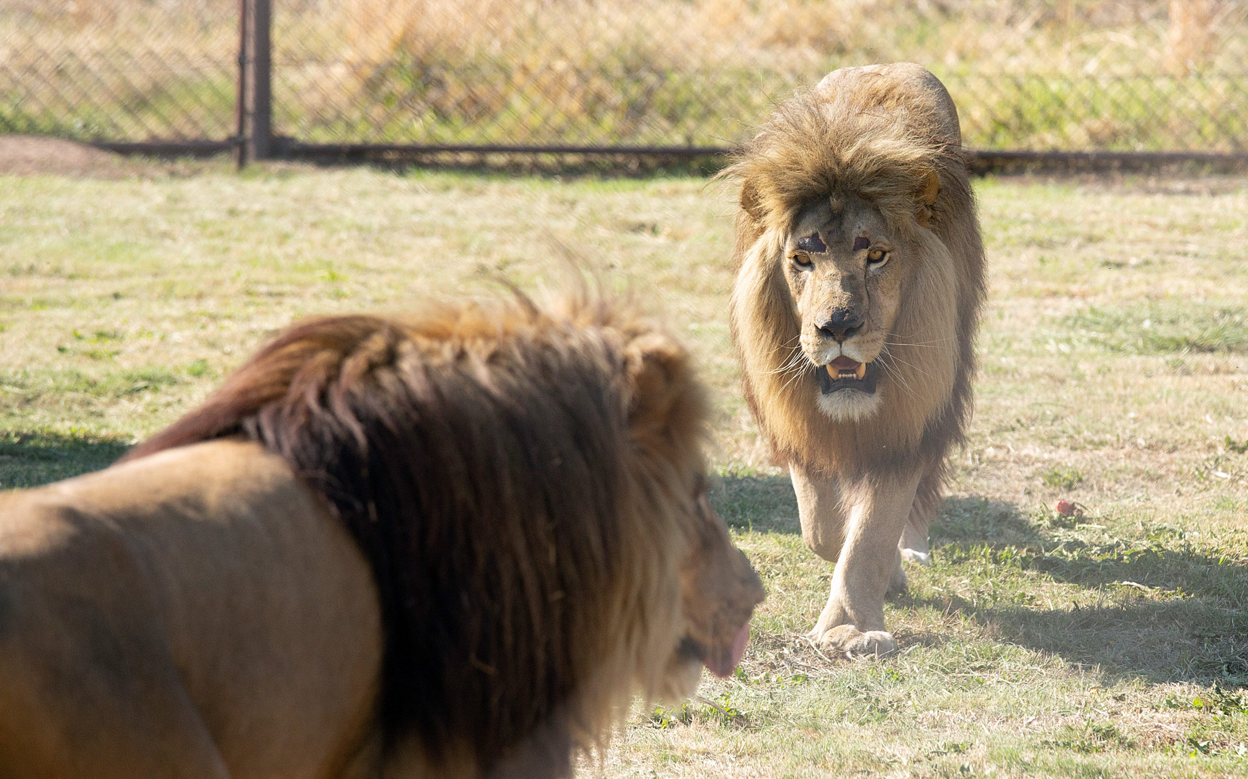 BIG CATS, CRUEL LIVES: Better times for lions Tom and Samson — but South Africa's captive breeding issue remains