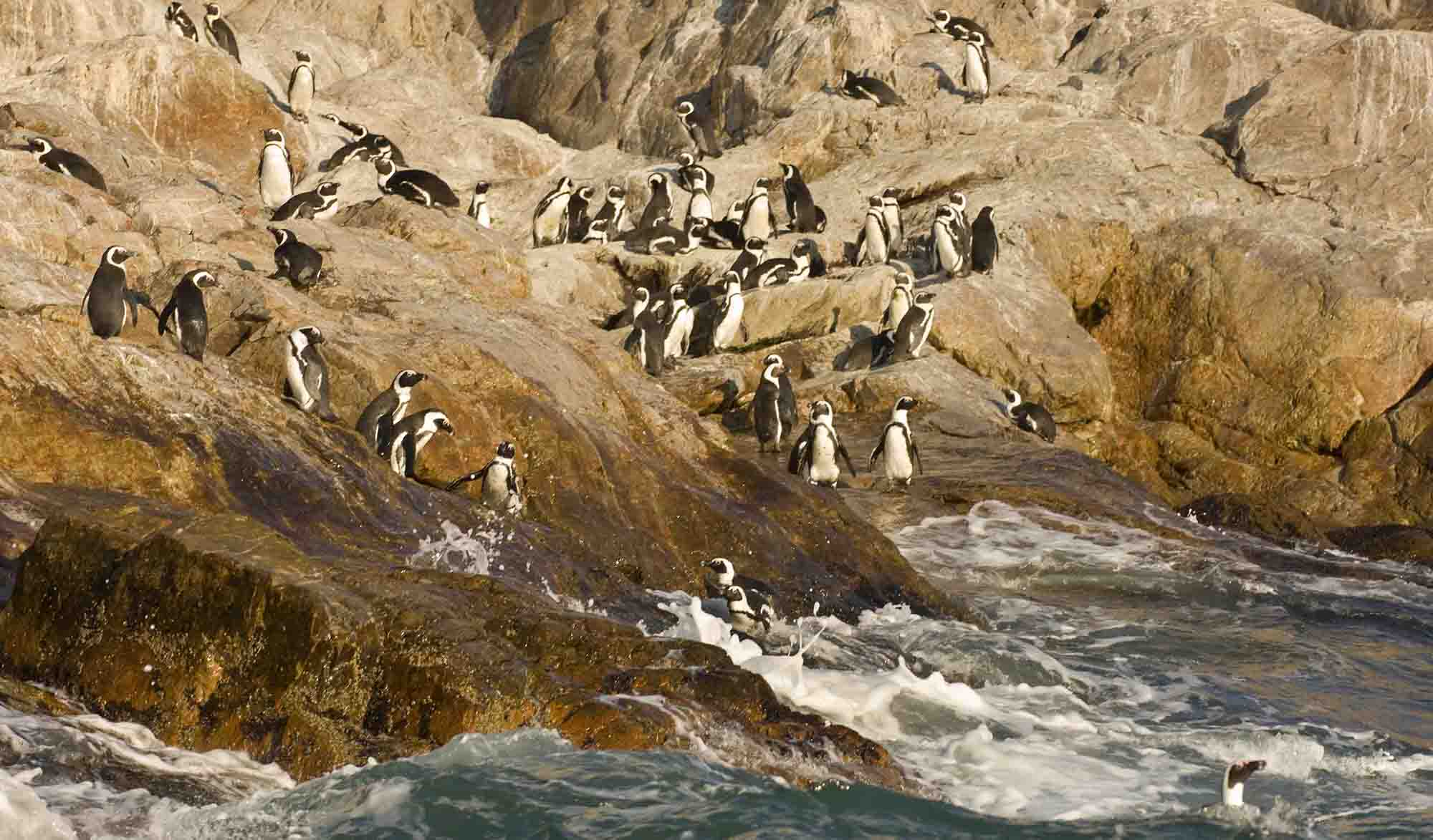 Shocking drop in number of African penguin numbers for Algoa Bay