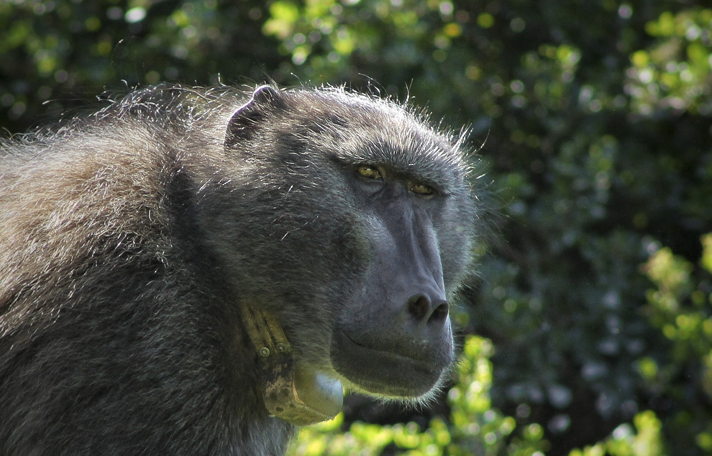 PRIMATE CONFLICT: 'It's like a bomb has been dropped': Cape authorities pass the buck after well-known baboon is put to death