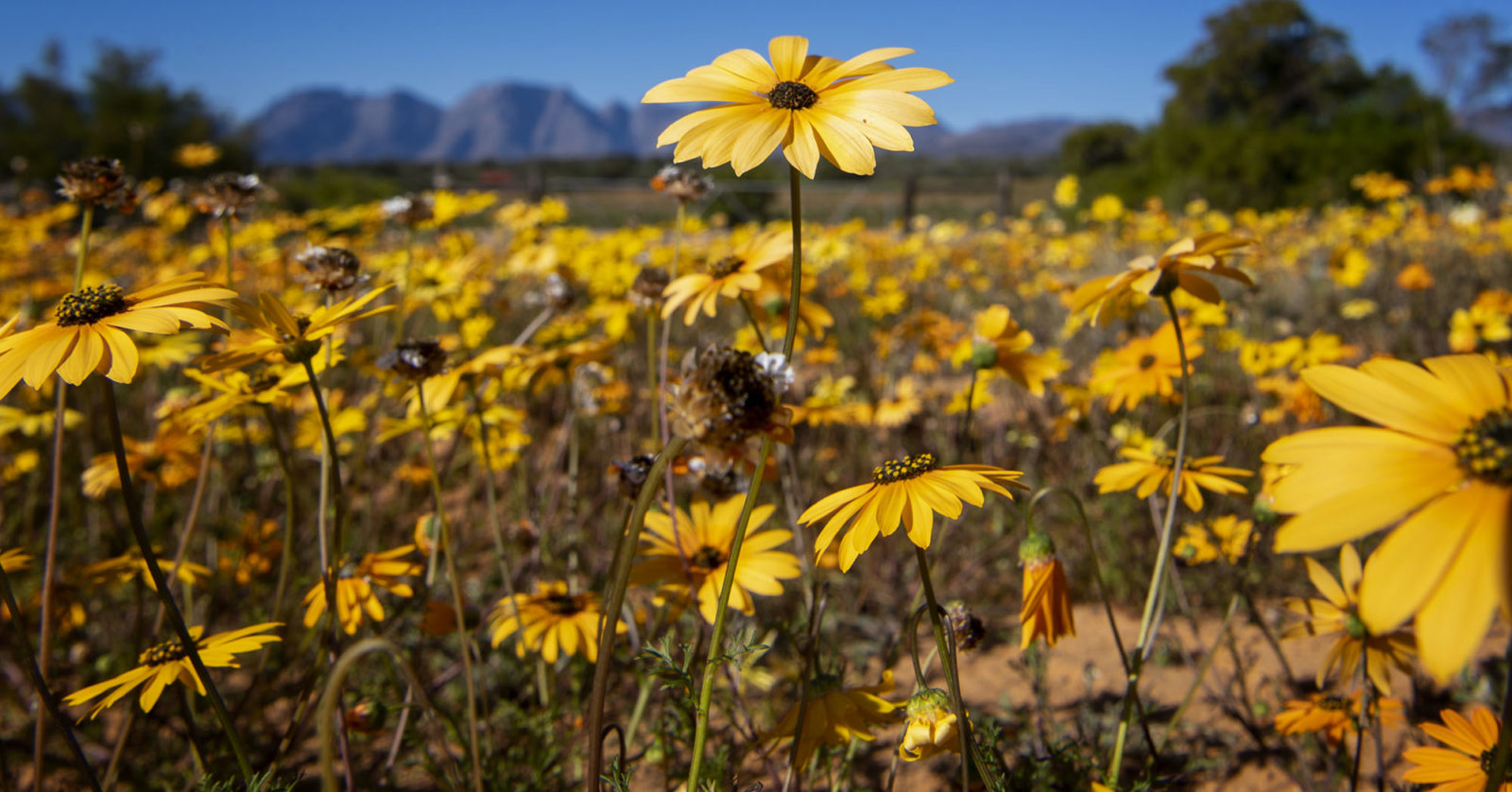 The Cape's spring flower spectacle Building back bet...