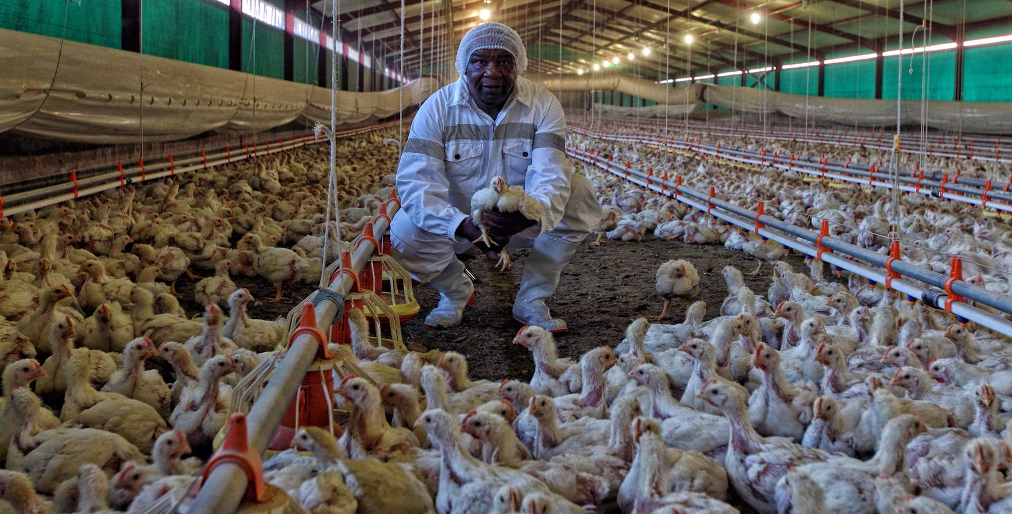Study the data: Imports are not threatening local chicken production