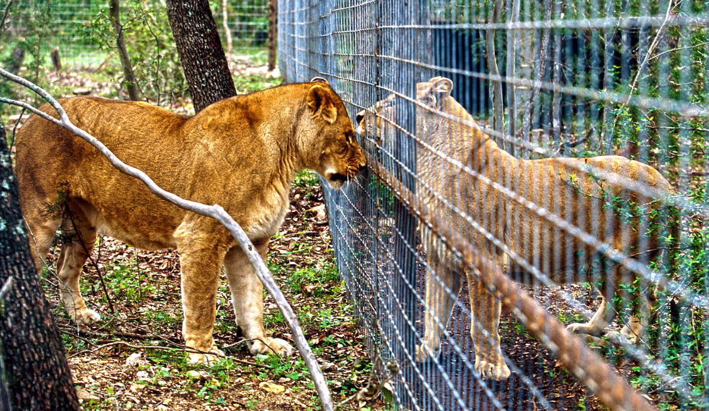 Government kicks the can forward yet again as the fate of thousands of lions remains in limbo