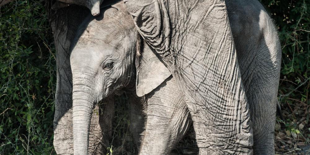 ELEPHANT POACHING: Syndicates move south; Botswana president calls it fake news