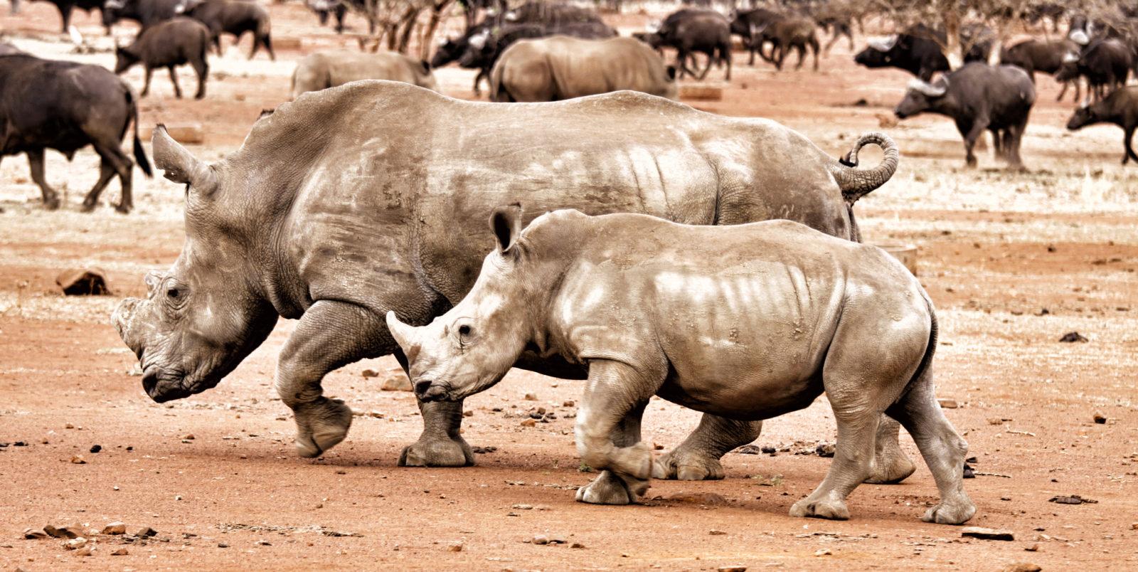 rhino horns value