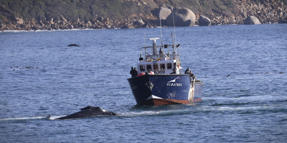 Whale entanglement row: Ban on octopus fishing is lifted, but mitigation measures muddy the water